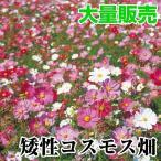 花たね 大量たね 矮性コスモス畑 1袋(100g)