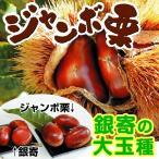 栗 苗木 ジャンボ栗 1株 / クリ くり 苗 栗の木 果樹苗