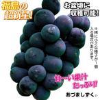 果樹苗 ブドウ あづましずくP 3株