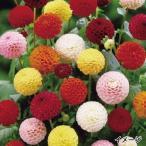 春植え球根 切花向きポンポンダリアセット 4色8球