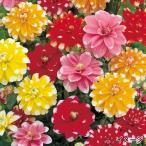 春植え球根 切花向き2色中輪ダリアセット 4色8球