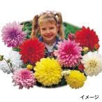 春植え球根 切花向き大輪ダリアセット 4色8球