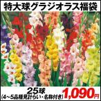 春植え球根 特大球グラジオラス福袋(品種見計らい・名称付き) 30球