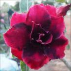 花 苗 アデニウム ブラックウィドウ 1株