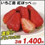 イチゴ苗 紅ほっぺP 3株 / イチゴの苗 いちごの苗 苺の苗 いちご 苗 親株