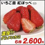 イチゴ苗 紅ほっぺP 6株 / イチゴの苗 いちごの苗 苺の苗 いちご 苗 親株