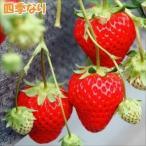 イチゴ苗 夏っちゃんP 3株 / イチゴの苗 いちごの苗 苺の苗 いちご 苗 親株