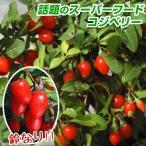 有用植物 クコ 千成 2株 / クコの実 ゴジベリー クコの苗
