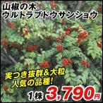有用植物 山椒の木 ウルトラブドウサンショウ 1株 / サンショの木 サンショウの木 サンショウの苗 山椒の苗