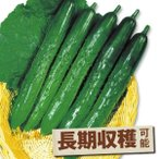 野菜たね キュウリ F1夏秋いちばんキュウリ 1袋(1ml) / タネ 種