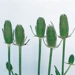 花たね チーゼル 1袋(15粒) / タネ 種