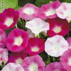 花たね つる植物 西洋朝顔 ラビアンローズ 1袋(20粒)