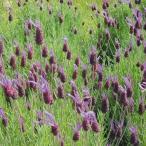 花たね ラベンダー パープルリボン 1袋(50mg) / タネ 種
