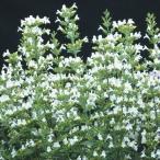 花たね カラミンサ マルベレットホワイト 1袋(30粒)