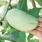 果樹苗 ポポー マンゴー 1株 / 果物苗 フルーツ苗