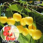 果樹苗 サクランボ 月山錦&ナポレオン 2種2株 / 果物苗 フルーツ苗 さくらんぼ 桜桃