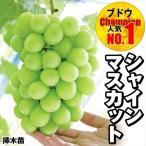 果樹苗 ブドウ 苗木 シャインマスカットP 挿木苗 3株 / ぶどう 葡萄 苗 ぶどうの木 ブドウの苗木