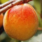 果樹苗 アンズ 巨紅 1株