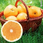 果樹苗 グレープフルーツ ダンカン 1株 / 果物 フルーツ苗