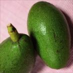 果樹苗 トロピカルフルーツ アボカドBタイプ エッティンガー 1株