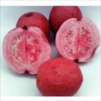 果樹苗 グァバ パープルグァバ 1株