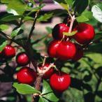 果樹苗 アセロラ 甘味系ハワイ種 1株