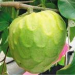 果樹苗 トロピカルフルーツ チェリモヤ フィノデフェテ 1株 / 果物 フルーツ苗