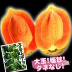 果樹苗 パパイヤ ウルトラ種なしフルーツパパイヤ 4株