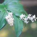 有用植物苗 ユキザサ(別名:アズキナ) 4株