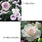 バラ 激安四季咲中輪バラAセット 2種2株