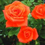 花木 バラ マリーナ 1株