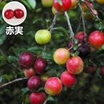 果樹苗 カルシウムの木 赤実 1株