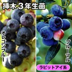果樹苗 ブルーベリー 甘いラビットアイ系セット 2種2株