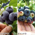 果樹苗 超大粒ハイブッシュ系ブルーベリーセット 2種2株