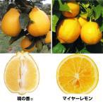 果樹苗 カンキツ まろやかレモンセット 2種2株