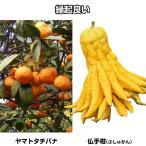 果樹苗 縁起の良いカンキツセット 2種2株