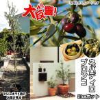 果樹苗 オリーブ ネバディロブランコ 21cmポット苗 1株