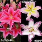 球根 花ユリ 大人気美色花ユリセット 3種15球