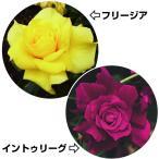 バラ苗 花木 激安四季咲中輪バラセット 2種2株