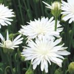種 花たね モモイロタンポポ 白 1袋(20粒)