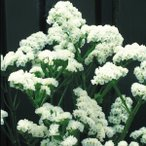 種 花たね スターチス ホワイト 1袋(100mg) / 花種 花の種 はなたね リモニウム リモニューム Limonium sinuatum ドライフラワー