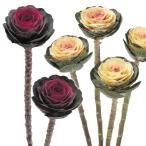 種 花たね 葉牡丹 高性丸葉牡丹混合 1袋(10粒)