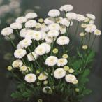 種 花たね マトリカリア バヤ 1袋(25粒)