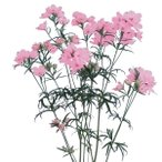 花たね デルフィニウム ティエラピンク 1袋(20粒)