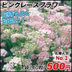 種 花たね 多年草 ピンピネラ ピンクレースフラワー 1袋(50粒)