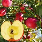 果樹苗 リンゴ 百年ふじRJM7P台 1株