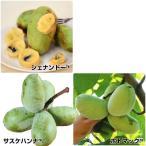 果樹苗 ポポー 最強ポポーセット 3種3株
