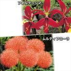 春植え球根 希少な赤花セット 2種4球