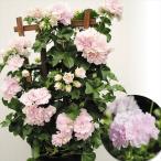 花苗 アイビーゼラニウム ブライダルローズ 2株 / 花の苗 はな苗 花壇