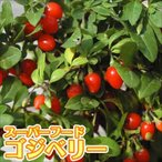 有用植物 苗 クコ 千成 2株